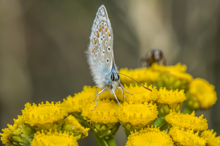 common blue: A Common Blue on a flower