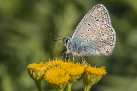 mariposa: A common blue is sitting on a flower