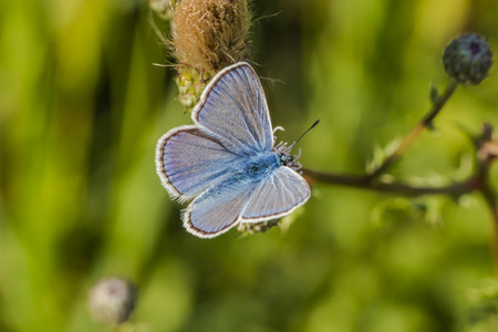 lycaenidae: A common blue is sitting on a flower