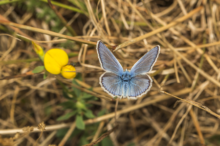 papillon: A common blue is sitting on a grass-stock