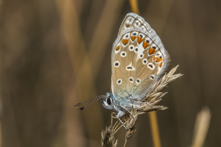 common blue: A common blue is sitting on grass-stock