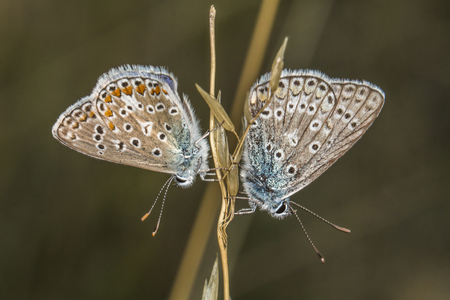 lycaenidae: Two common blues by the copulation Stock Photo