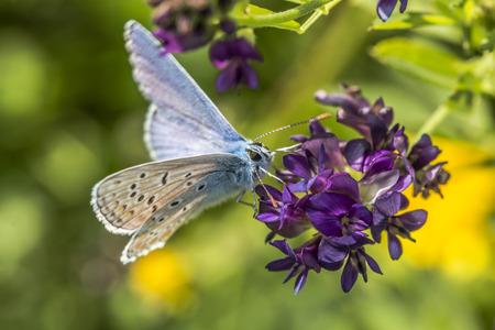 papillon: A Common Blue sur une fleur Banque d'images