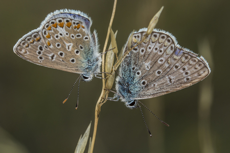 copulation: Two common blues by the copulation Stock Photo