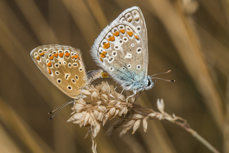 flower leaf: Two common blues by the copulation Stock Photo