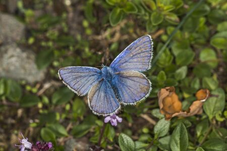 common blue: A Common Blue on a leaf