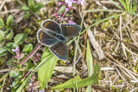 common blue: A Common Blue on a grass-stock