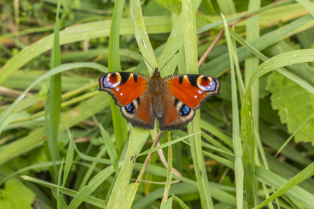 peacock butterfly: A peacock butterfly on a grass-stock