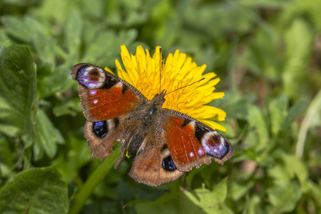 mariposa: A peacock butterfly on flower