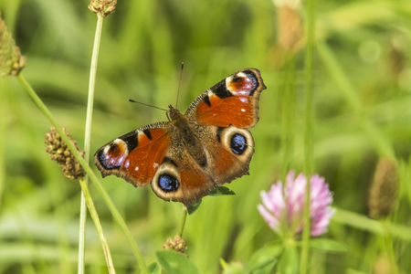 A peacock butterfly on a grass-stock