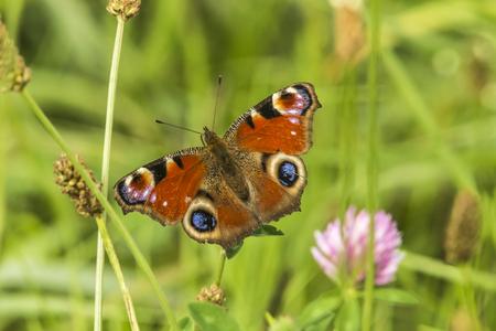 papillon: Un papillon de paon sur une herbe stock Banque d'images