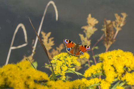 peacock butterfly: A peacock butterfly on a flower Stock Photo