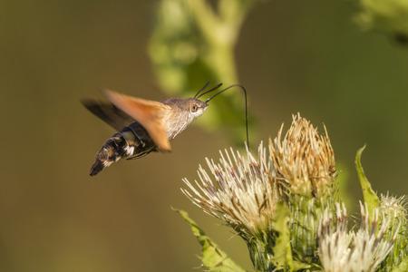 papillon: A hummingbird hawkmoth suckles on a flower