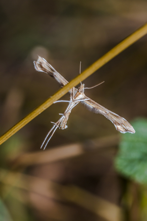 plume: A white plume moth on a grass-stock