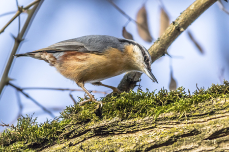 fodder: A nuthatch on the tree is searching for fodder Stock Photo