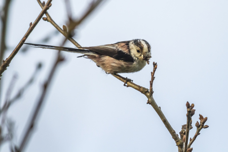 warble: A long-tailed tit is sitting on a branch