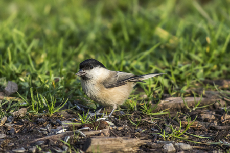 fodder: A marsh tit is searching for fodder Stock Photo
