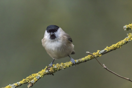 A marsh tit is sitting on a branch Stock Photo