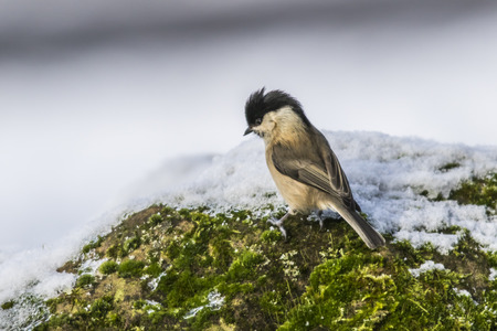 warble: A marsh tit in the snow is searching for fodder