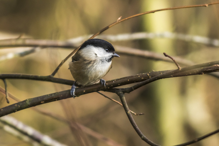 warble: A marsh tit is sitting on a branch Stock Photo