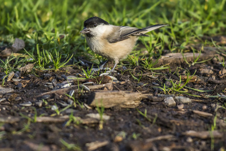 warble: A marsh tit is searching for fodder Stock Photo