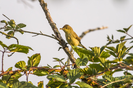 warble: A melodious warbler is sitting on a branch