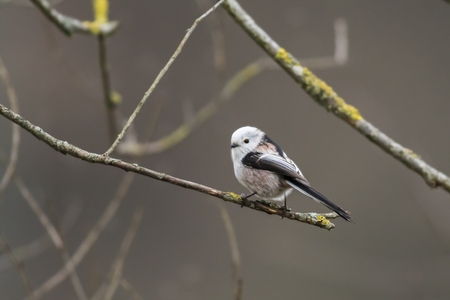 feathering: A long-tailed tit is sitting on a branch