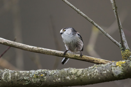 song bird: A long-tailed tit is sitting on a branch