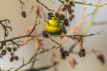 song bird: A common siskin is sitting on a branch