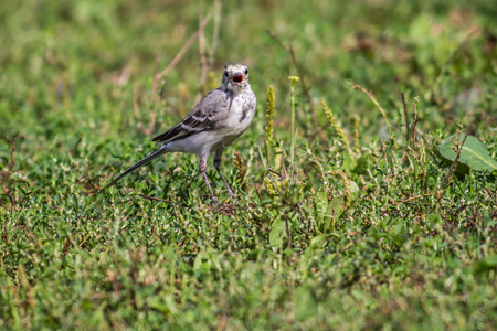 searching for: A white wagtail is searching for fodder Stock Photo
