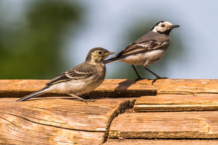 white wagtail: A white wagtail is searching for fodder Stock Photo