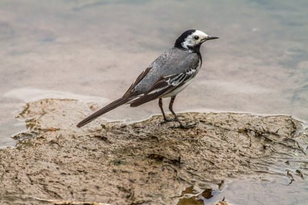 fodder: A white wagtail is searching for fodder Stock Photo
