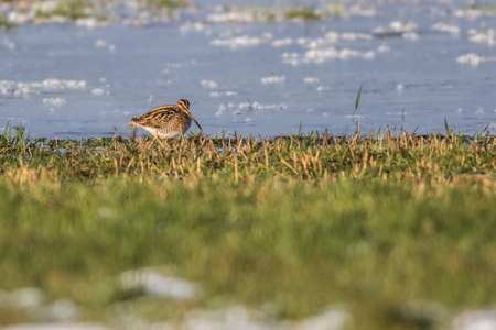 fodder: A common snipe on a frosty pond is searching for fodder Stock Photo