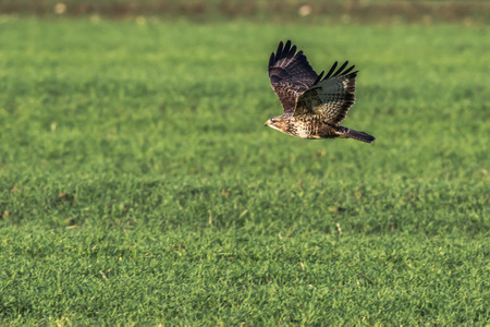 searching for: A common buzzard is searching for fodder