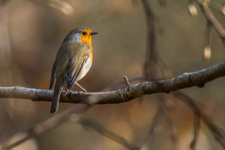 song bird: A robin redbreast is searching for fodder