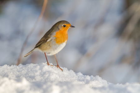 A robin redbreast in the snow  is searching for fodder