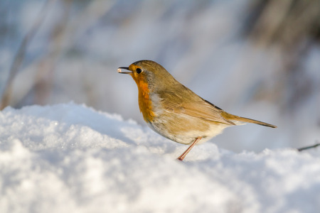 redbreast: A robin redbreast in the snow is searching for fodder