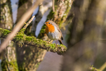 redbreast: A robin redbreast is searching for fodder
