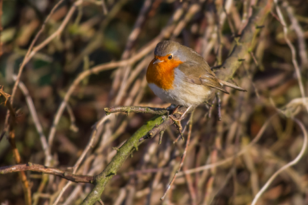 fodder: A robin redbreast is searching for fodder