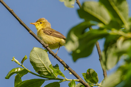 warbler: A melodious warbler is sitting on a branch