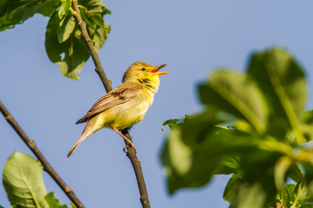 feathering: A melodious warbler is sitting on a branch
