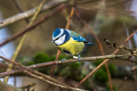 song bird: A blue tit is sitting on a branch