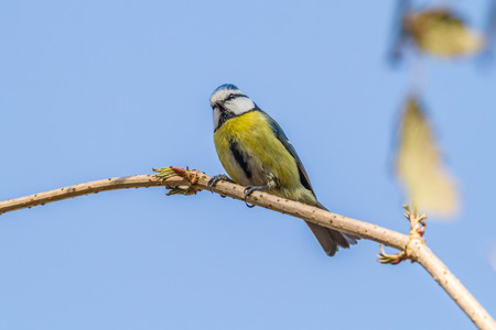 feathering: A blue tit is sitting on a branch