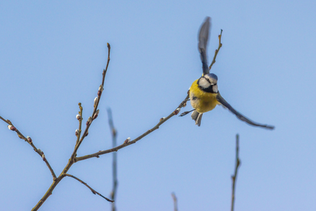 blue tit: A blue tit is sitting on a branch