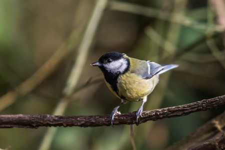 great tit: Great tit on a branch