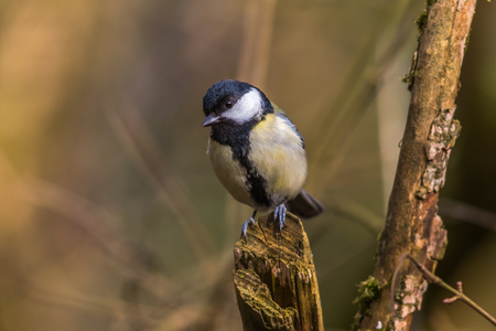 feathering: Great tit on a branch