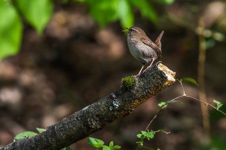song bird: A wren is sitting on a branch Stock Photo