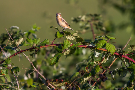 feathering: A whinchat is sitting on a branch