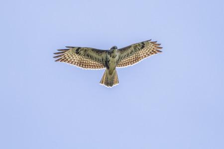 Germany, Homburg, A common Buzzard in flight Stockfoto