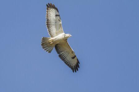 zopilote: Alemania, Homburg, un halcón común en vuelo Foto de archivo